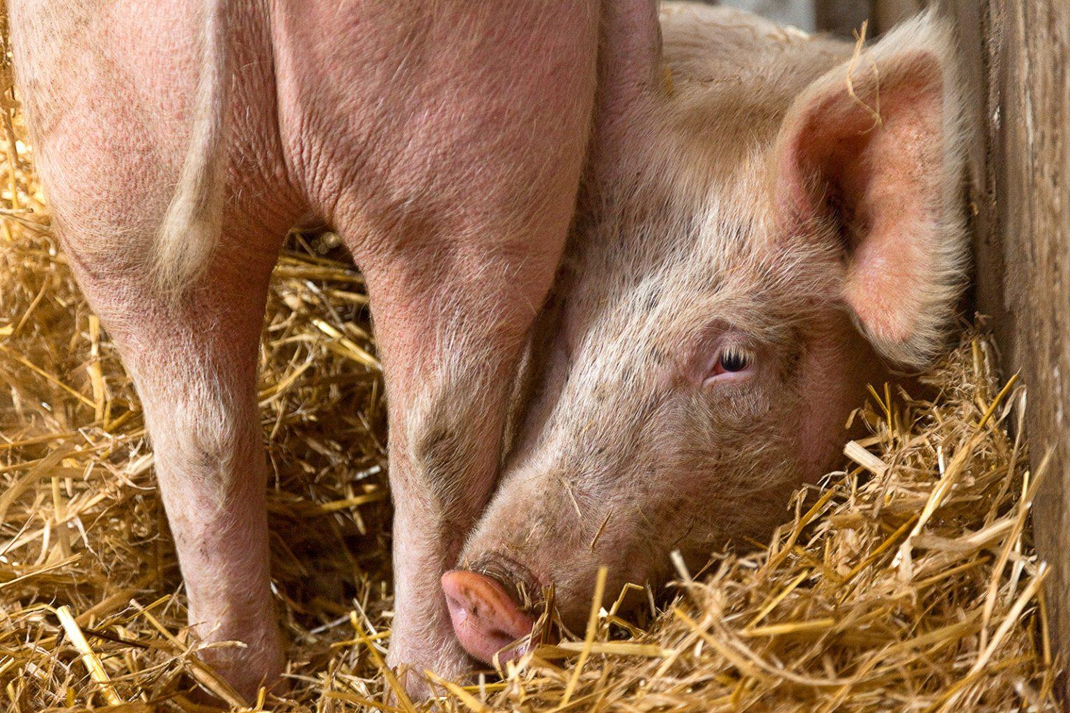 Die Schweine machen es sich auf Stroh bequem
