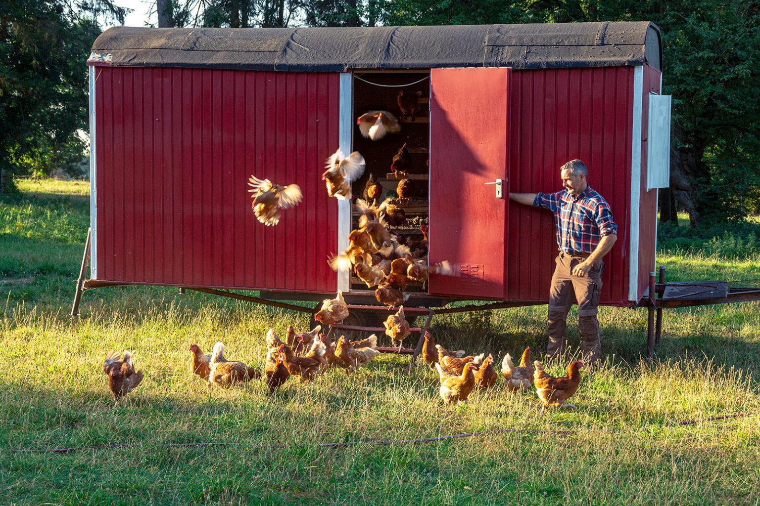 Dirk Tensfeldt öffnet am Morgen ein Huhnermobil