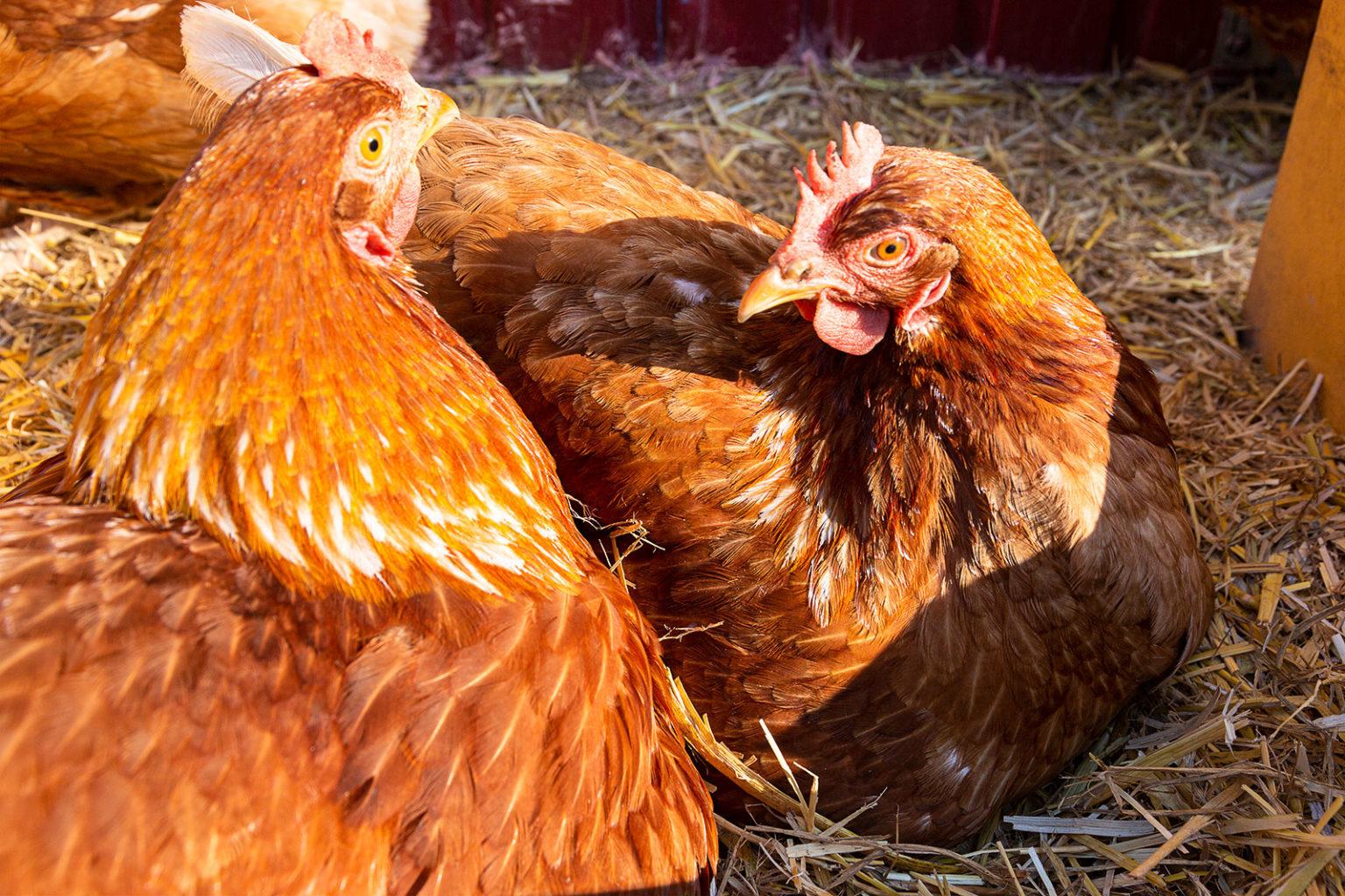 Zwei Hühner dicht beieinander. Sie mögen das.