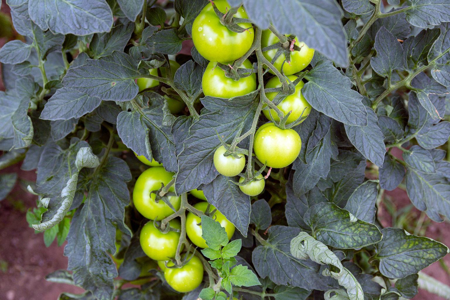 Tomaten. Ein Steckenpferd von Wolfgang Kobs.