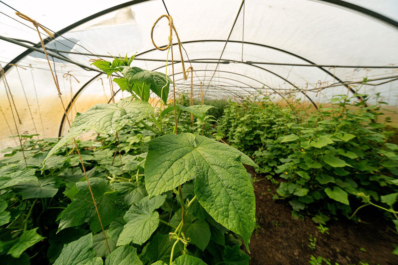Einige Gemüsesorten wie Gurken und Tomaten zieht Kobs im Gewächshaus.